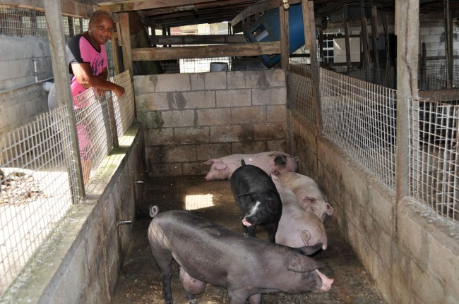 Pig farmer Marcia Inniss has had to buy water tanks to ensure that she has an adequate supply of water.