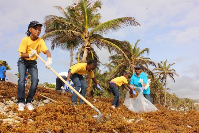 A team of St Joseph students from the St Elizabeth, St Bernard's and St Joseph Primary schools clearing the Bathsheba beach of sargassum weed this past weekend.