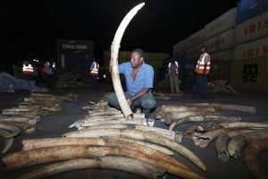 Confiscated ivory.