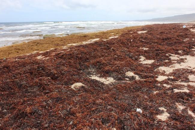East Coast beach covered in the seaweed.